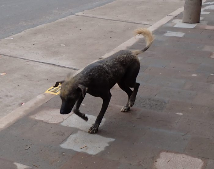 a hairless dog roaming the streets