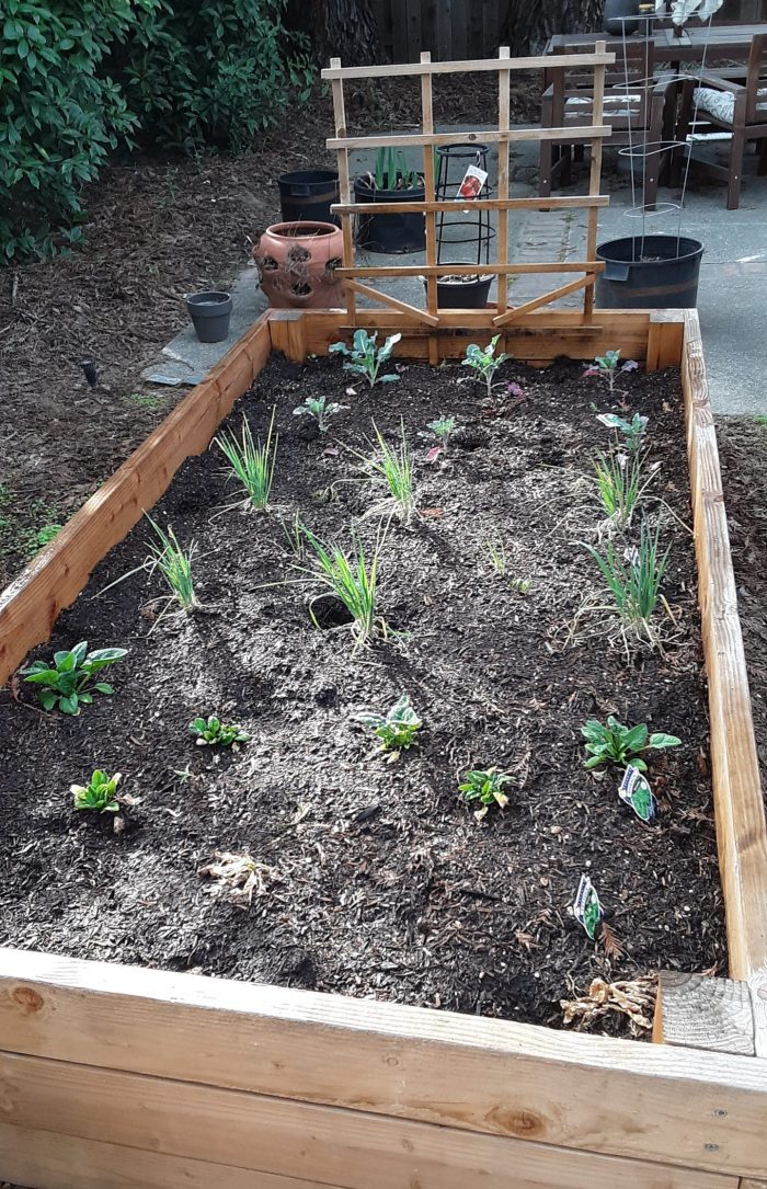 a picture of the garden bed with its winter crops: broccoli, leeks, spinach, and now-dead lettuce