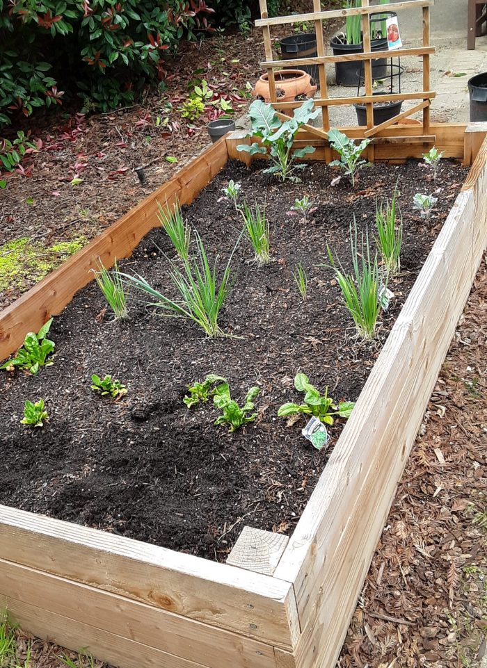 winter garden with growing broccoli and leek plans, plus leafy spinach