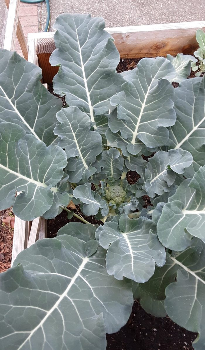 very small broccoli in the center of huge broccoli leaves