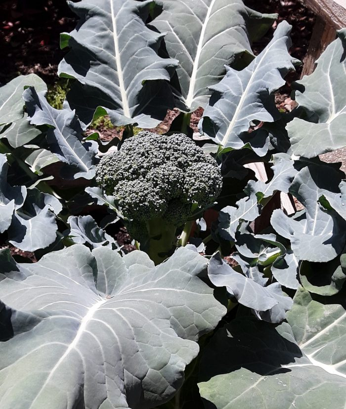 a slightly larger broccoli amid many large leaves