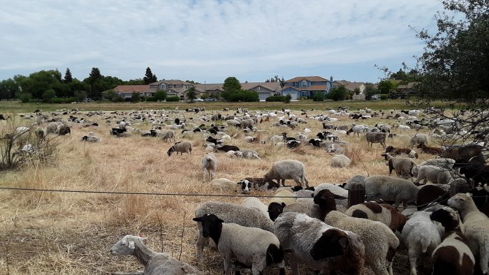 sheep and goats grazing in Elk Grove