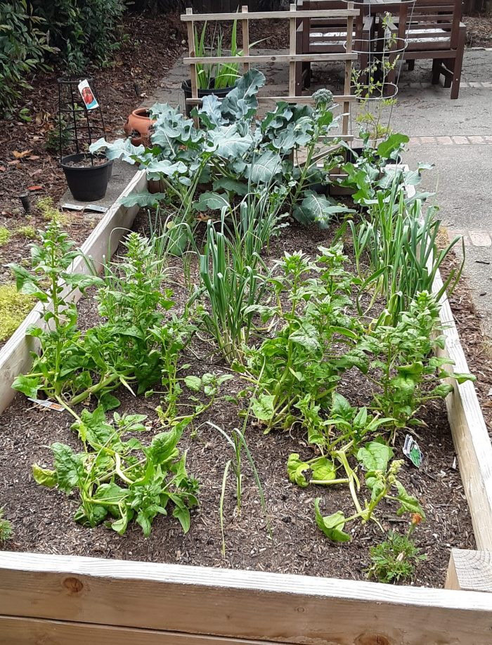 the winter garden with large broccoli leaves, spinach going to seed, and leeks
