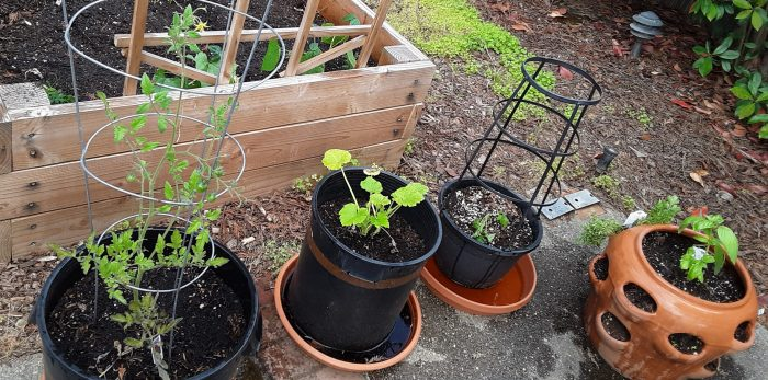 plants outside the garden bed: two tomatos, zucchini, and a pot of various herbs