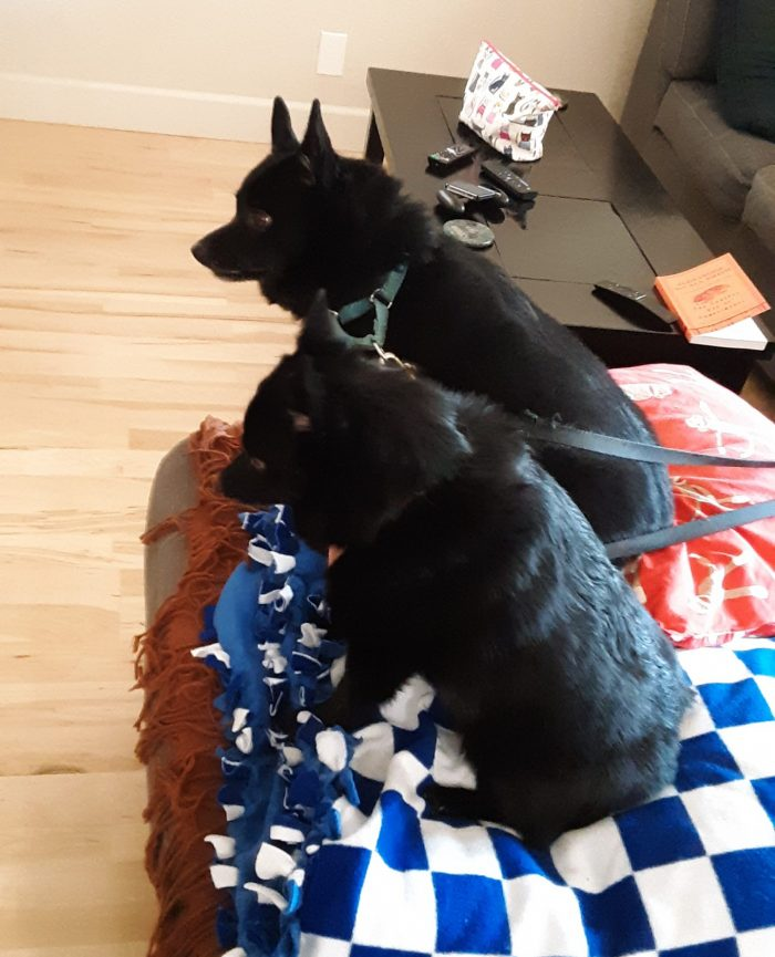 two Schipperke dogs, seated on the edge of the couch