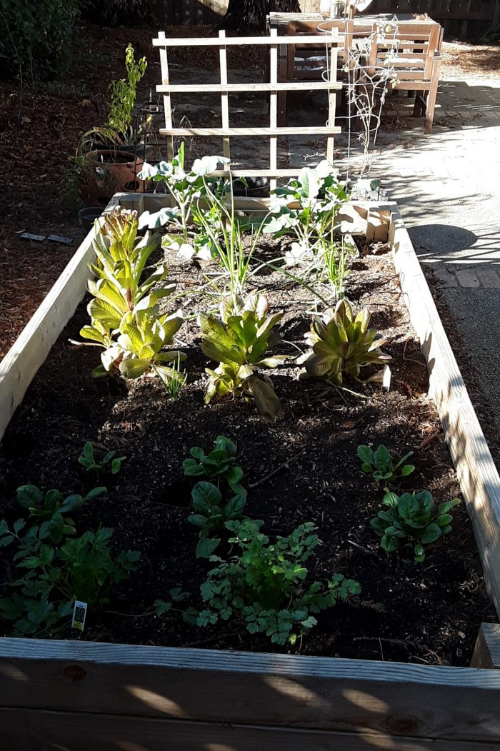 a garden bed containing two herbs, spinach, lettuce, onions and broccoli. all about 1/3 grown