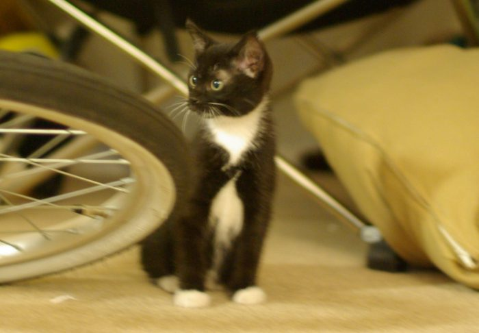 Huey the cat as a small kitten, looking alert