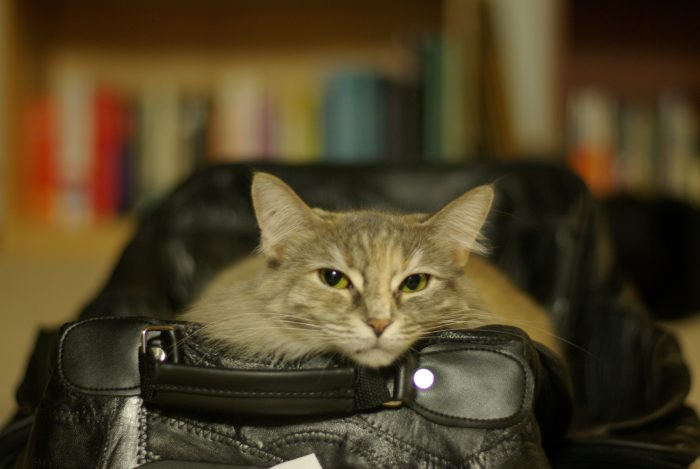 Viola sitting in a suitcase, with her chin perched on the edge. looking at the camera