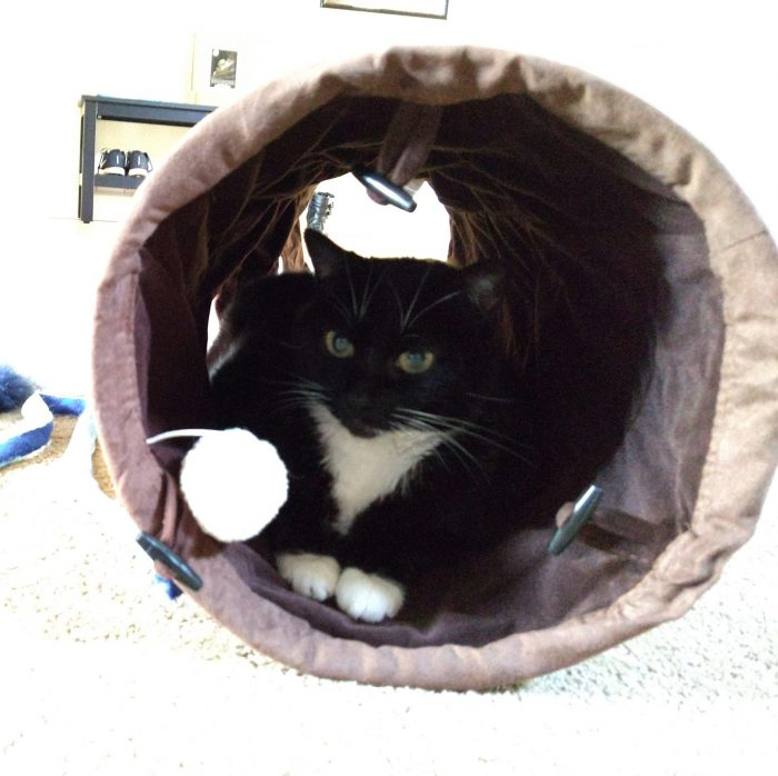 Huey the cat sitting in a cat play tube, looking out at the camera
