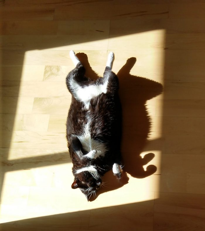 Huey the cat, lying on the floor with her belly up. She is framed by sun coming in from the window.