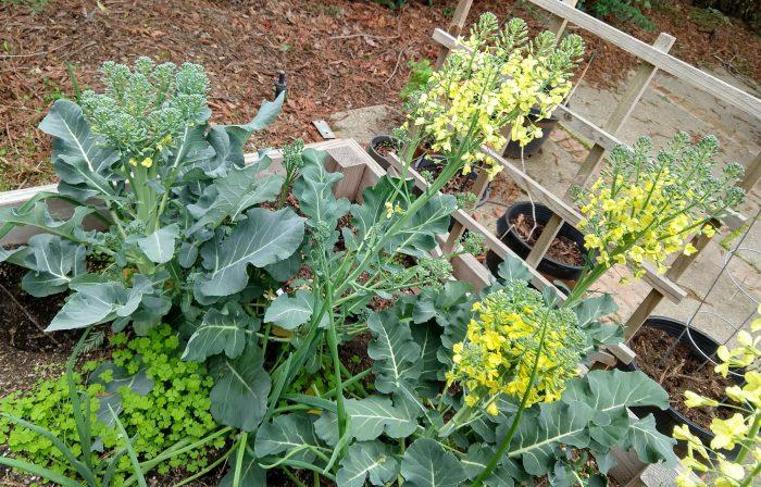 broccoli plants starting to flower