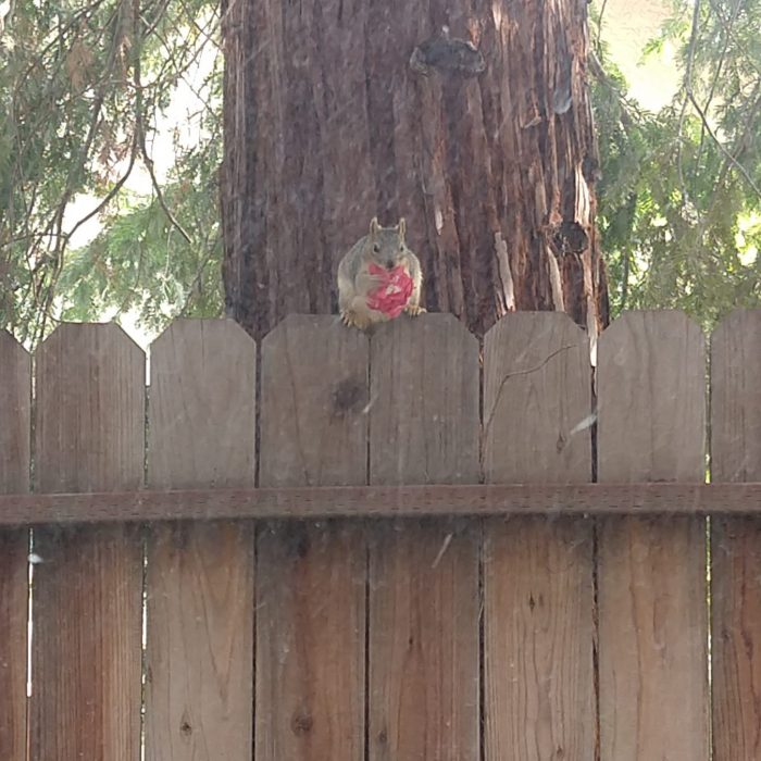 A squirrel sitting on top of the fence, a flower in its paws. The squirrel is facing the camera