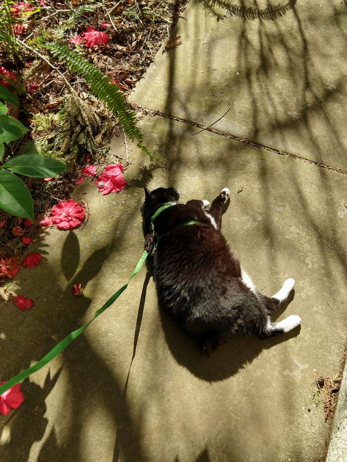 Huey the cat, wearing a harness, lying on her side in the sun and near a flower bush