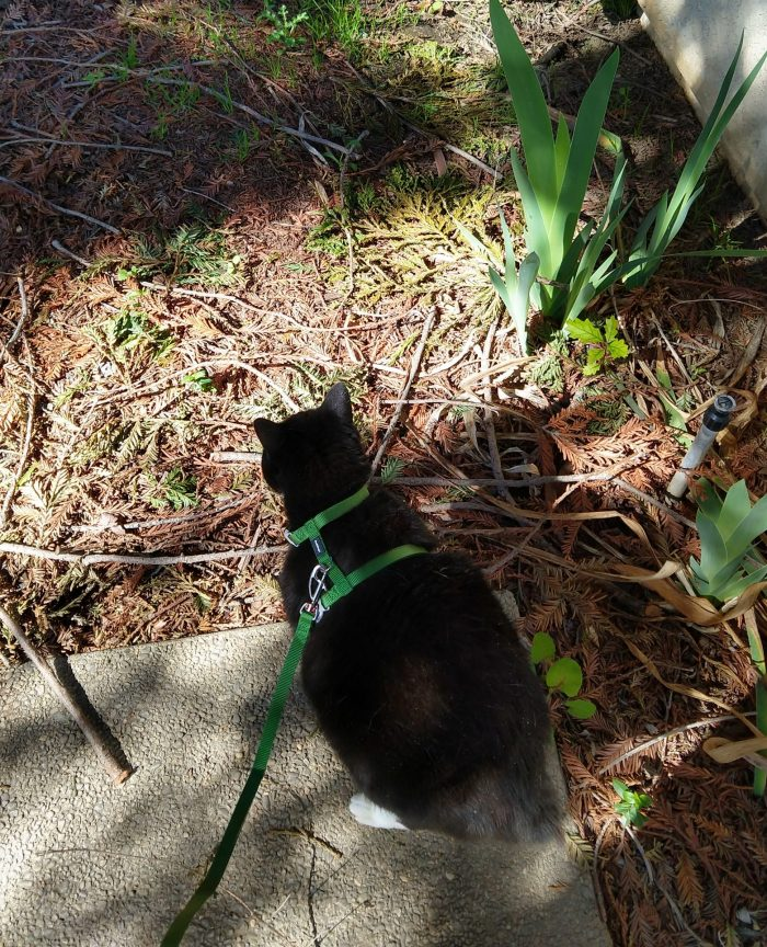Huey the cat, wearing her harness, standing at the edge of the patio concrete, looking out into the wilds of the pine-needle-covered yard
