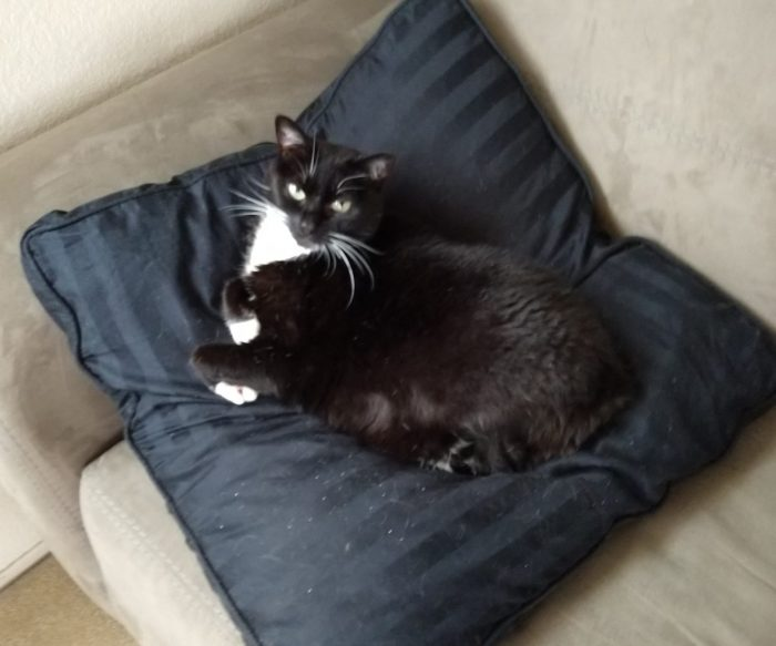 Huey the cat lounging on a large pillow that is propped up against the armrest of a loveseat. She is giving the camera an imperious glare.