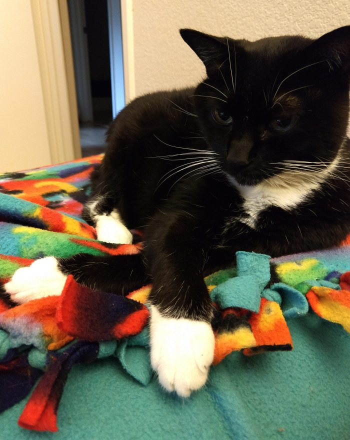 Huey the cat hanging out on a colorful blanket, her front legs are crossed in front of her