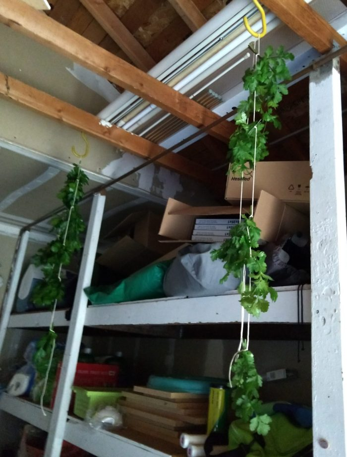 bunches of herbs tied to string and hanging from bike hooks inside my garage