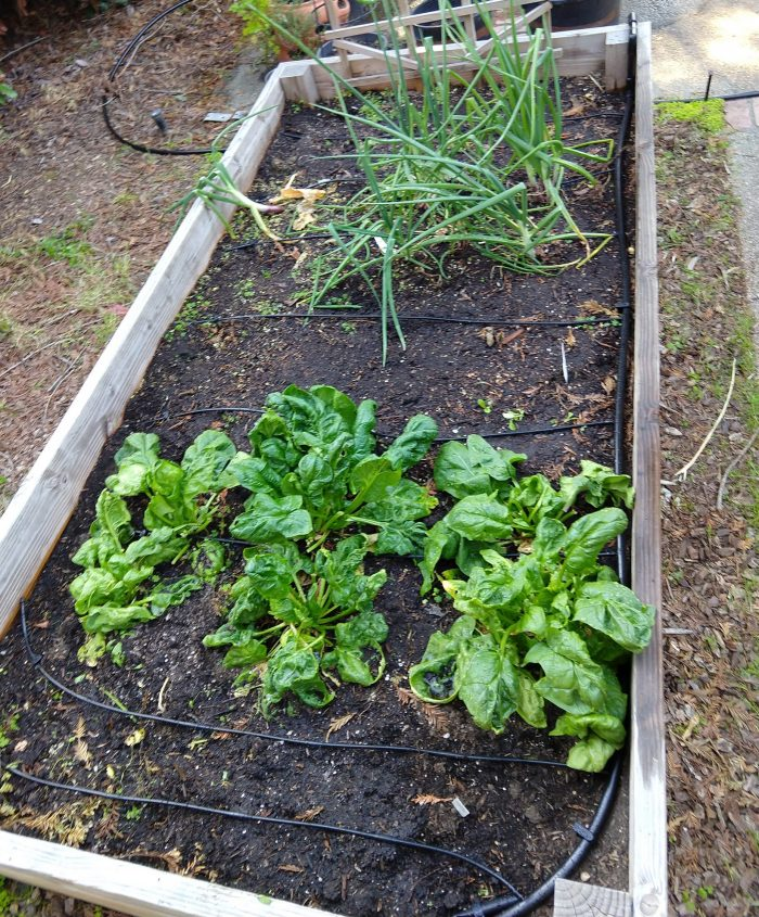 our backyard garden box containing onions and spinach, featuring a newly installed drip sprinkler system