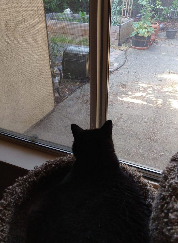 Huey the cat sitting in her cat tree, looking into the backyard and observing the squirrels in the garden