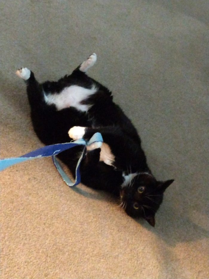 Huey the cat lying on her back. Her front paws are holding a ribbon toy and her back feet are up in the air
