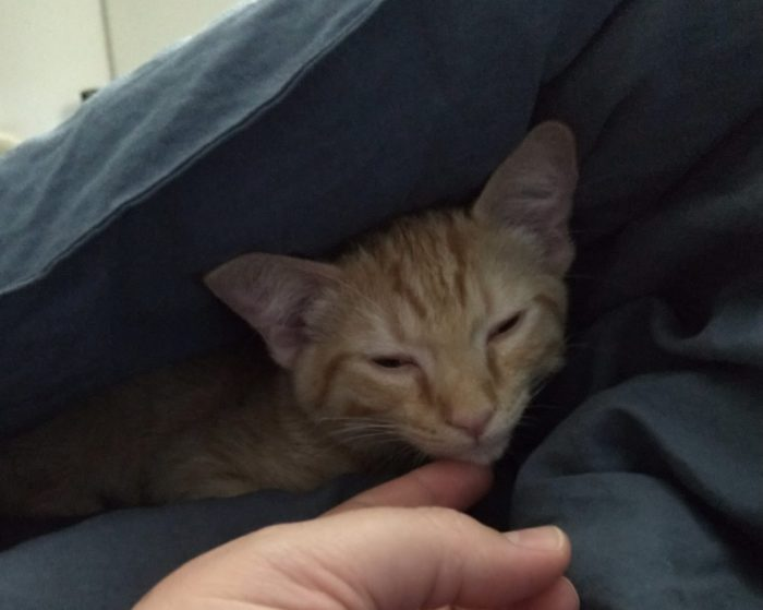 Fritz the cat, tucked under a blanket with his head visible. His eyes are half closed.