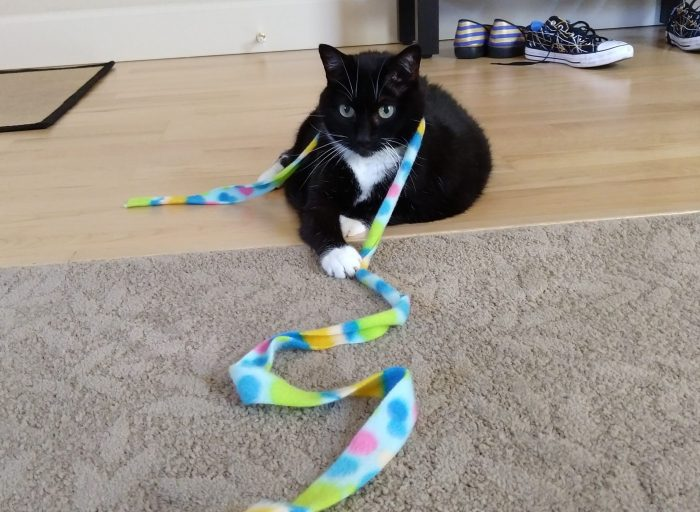 Huey the cat sitting on the floor with a strand of colorful fleece around her neck (the fleece is part of a cat toy)
