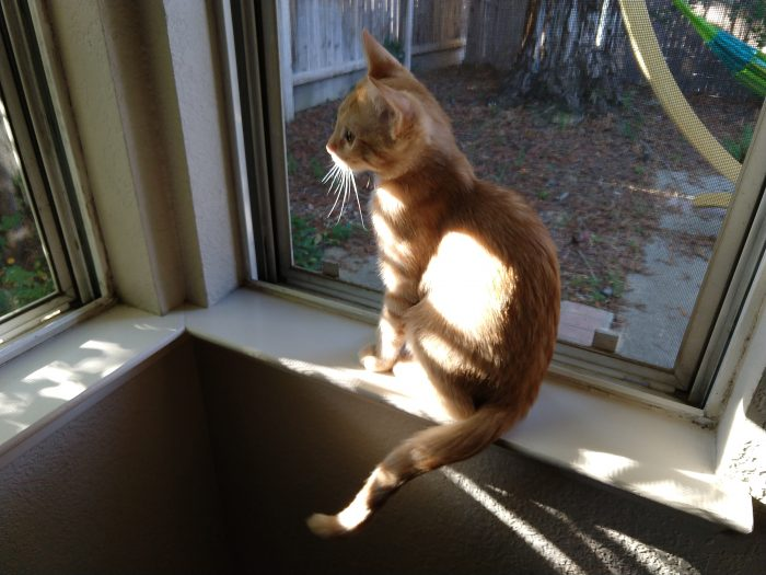 Fritz the cat sitting on a windowsill, looking outside with great focus