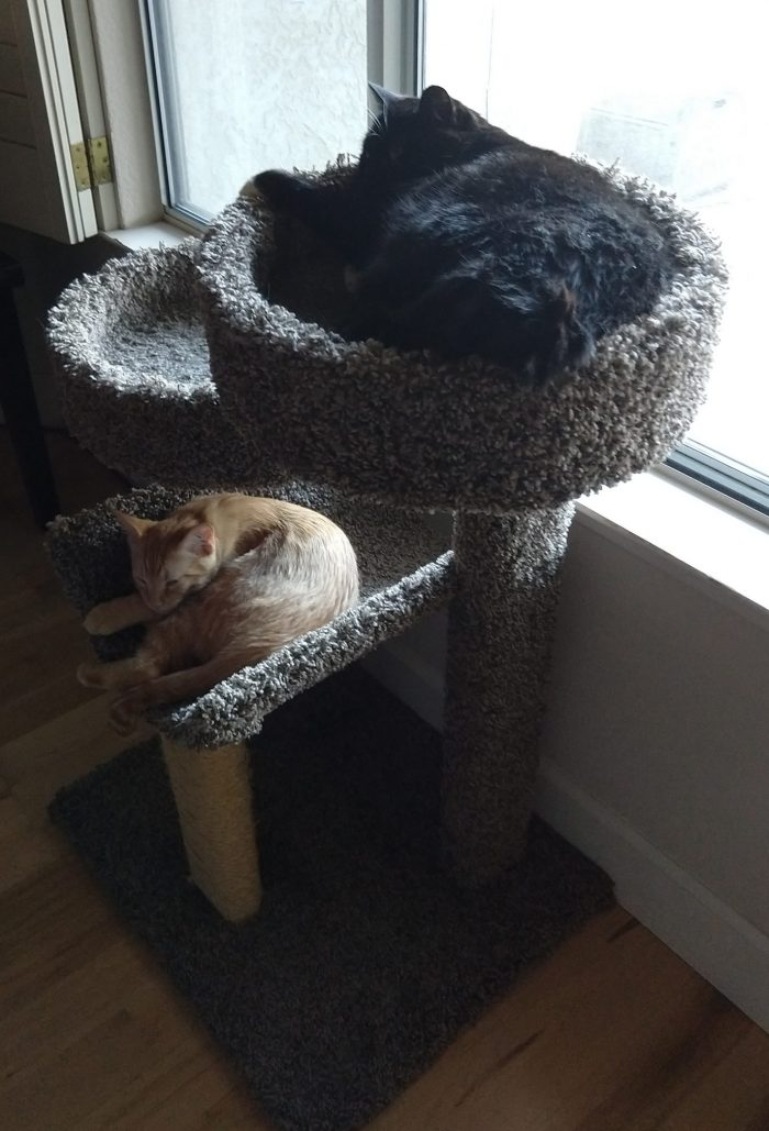 Huey the cat curled up in the top tier of a cat tree and Fritz the cat on the bottom level