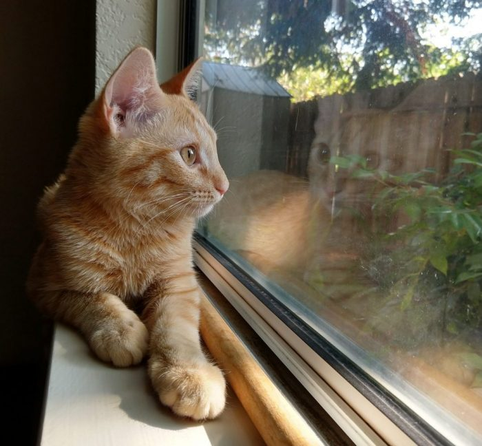 Fritz the cat lying on a windowsill, looking outside, his reflection visible in the window