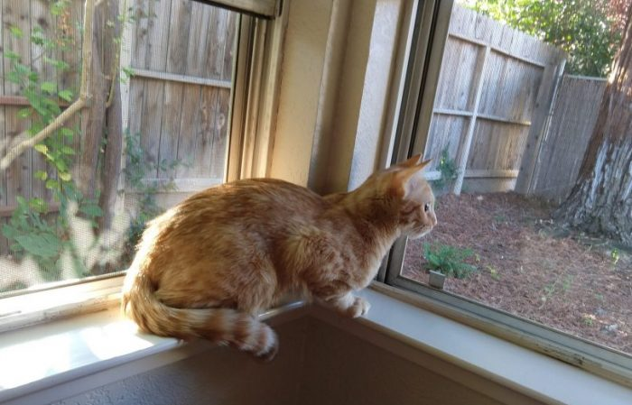 Fritz the cat perched in a corner where two small window sills meet. He is looking outside, fixated on something off-camera