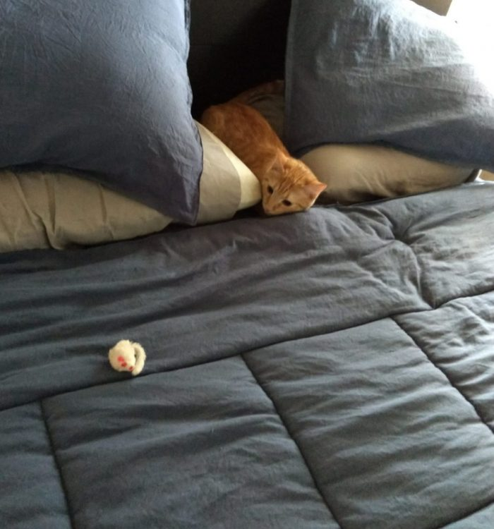 Fritz the cat on the bed wedged between our two pillows. There is a toy mouse in front of him that he is looking at intently